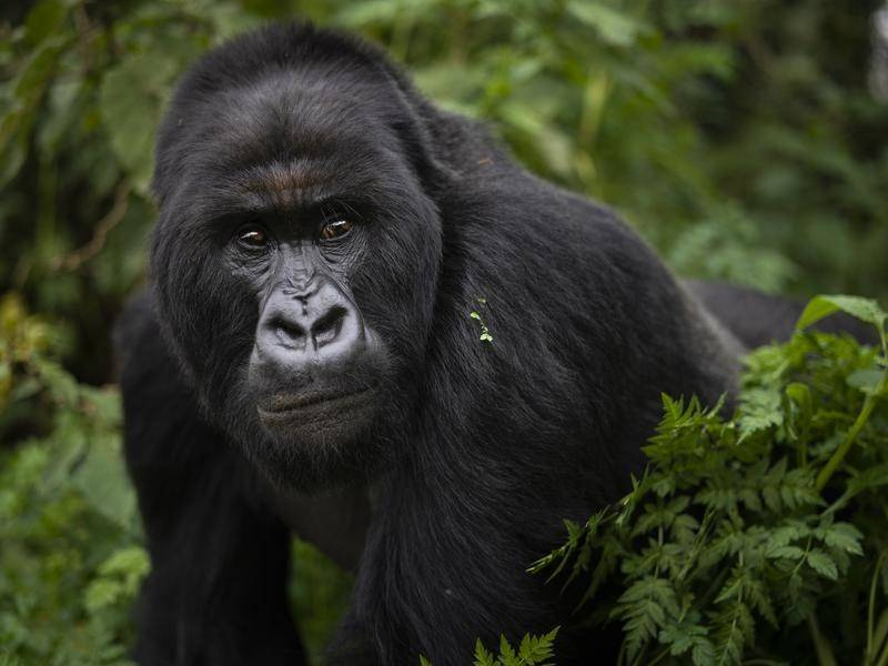 A study shows mountain gorillas are friendlier to groups they have known in the past.