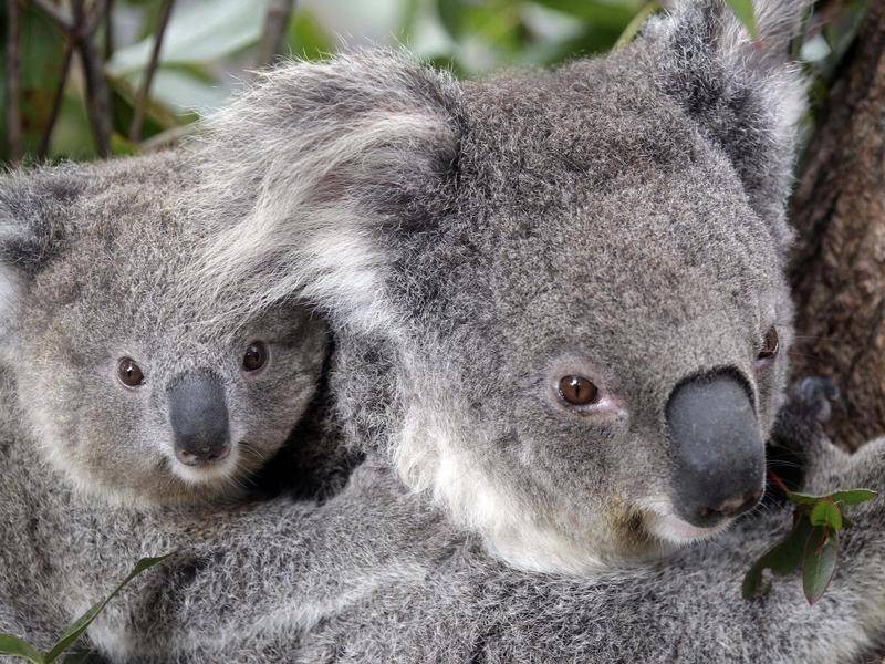 Tensions continue over koala protection in NSW, with a Liberal MP voting against a government bill.